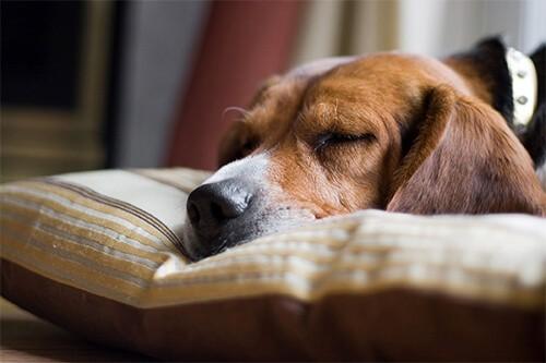 Chó mệt mỏi ủ rũ khi bị bệnh lỵ doAmip
