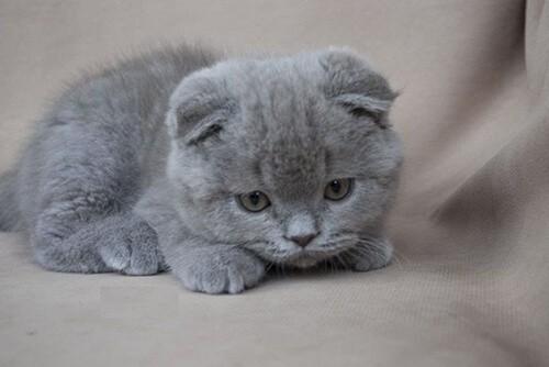 Mèo bị bệnh lỵ do amip thường ủ rũ, mệt mỏi