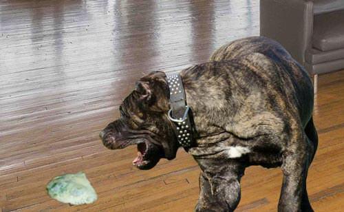 Chó nôn mửa khi bị bệnh