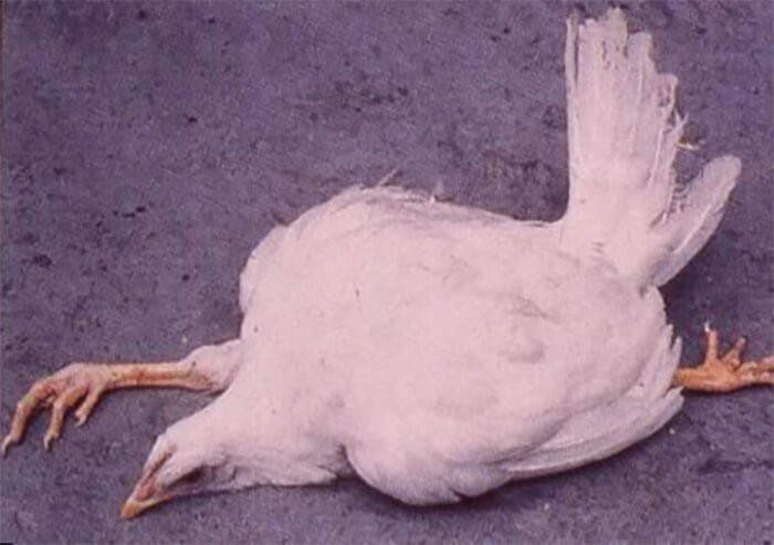 Gà bị liệt chân, tư thế nằm duỗi chân đặc trưng của gà mắc bệnh Marek ở gà