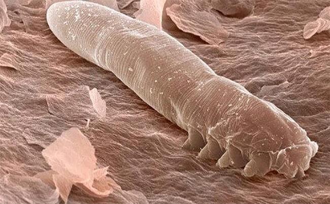 Bệnh mò bao lông ở chó mèo demodex canis