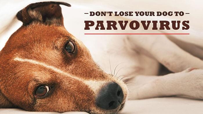 BệnhParvo ở chó cực kỳ nguy hiểm