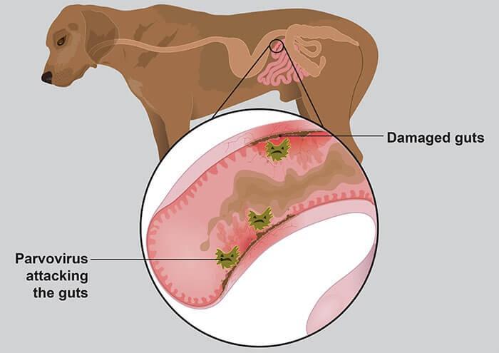 Virus parvo ở chó tấn công vào niêm mạc ruột