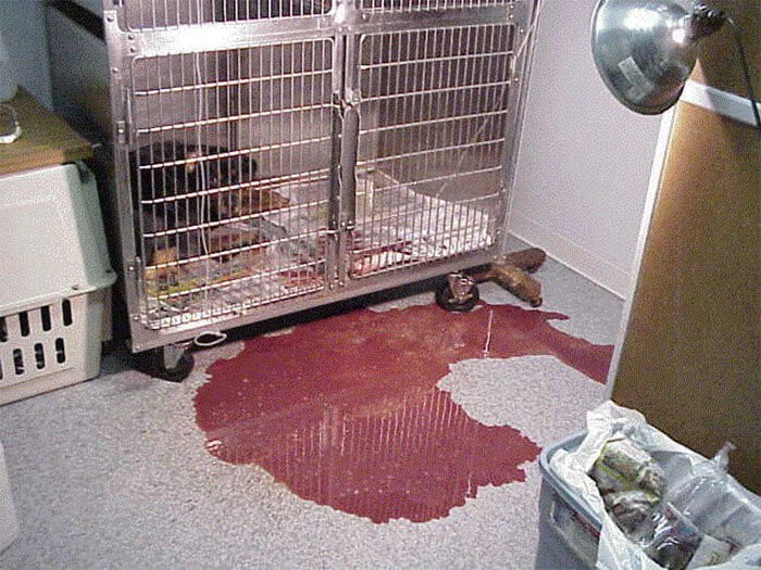 Chó tiêu chảy máu tươi khi bị bệnh Parvo ở chó