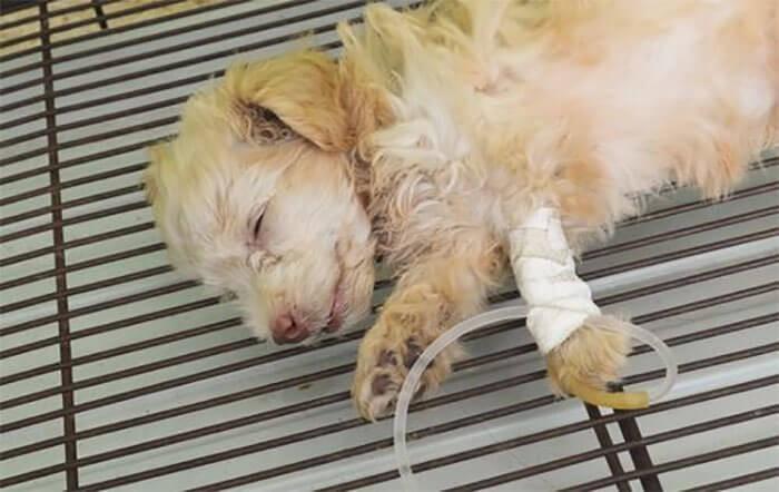 Chó ủ rũ, mệt mỏi khi bị bệnh Pravo