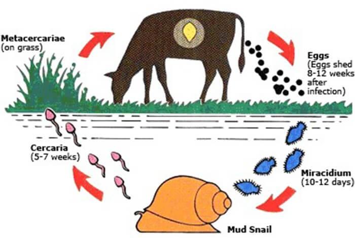 Cơ chế sinh bệnh sán lá gan ở trâu bò
