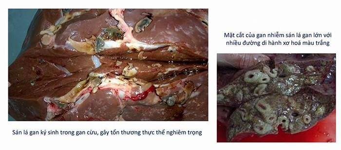 Bệnh tích của bệnh sán lá gan trên trâu bò
