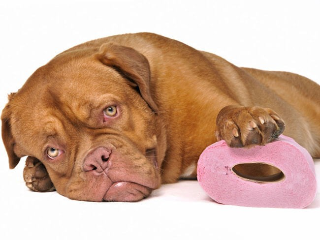 Con vật ủ rũ, mệt mỏi khi bị sỏi thận ở chó
