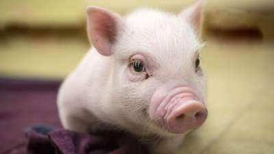Triệu chứng và phác đồ điều trị bệnh sưng phù đầu ở lợn do E.coli