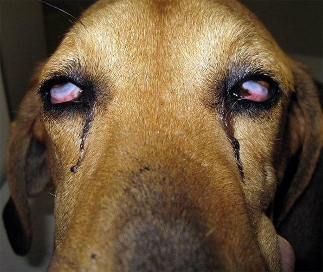 Chó bị bệnh Care chảy nước mắt - các bệnh thường gặp ở chó mèo