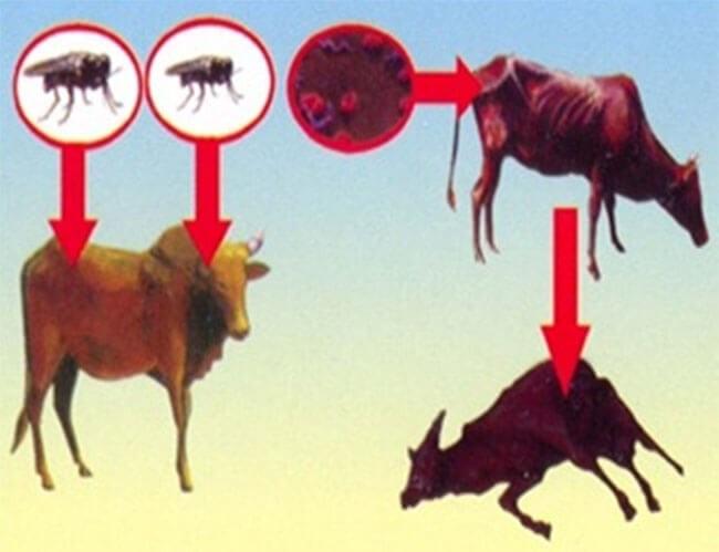 Ruồi, muỗi là vecto truyền bệnh
