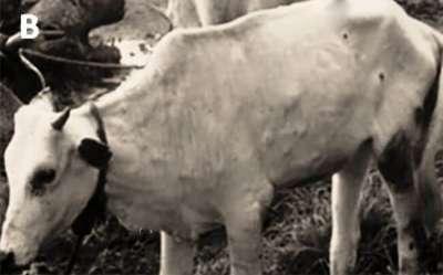 Triệu chứng nhận biết bệnh viêm hệ bạch huyết ở bò (Bovine farcy)