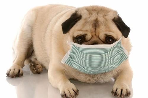 Đeo khẩu trang cho chó tránh khói bụi, thuốc lá và bụi bẩn