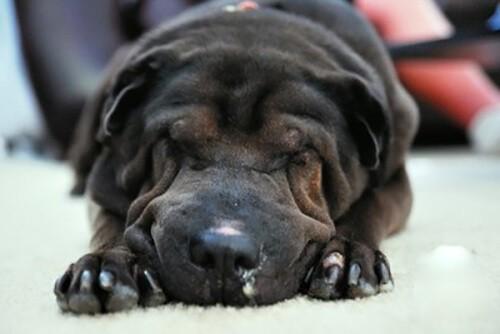 Chó mệt mỏi, chảy nước mũi khi bị bệnh viêm phế quản ở chó