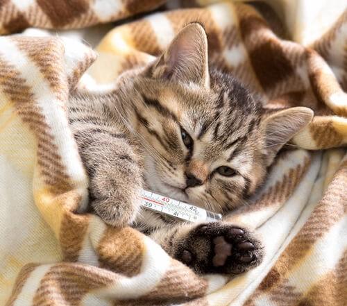 Mèo sốt khi bị mắc bệnh