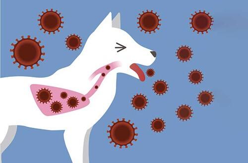 Chó ho liên tục, bài thải mầm bệnh ra môi trường