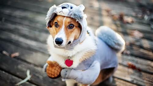 Giữ ấm cho chó phòng bệnh viêm phế quản ở chó mèo