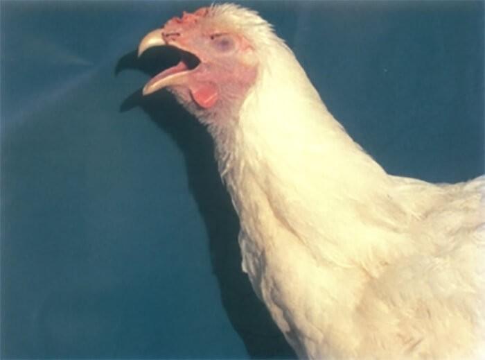 Gà khó thở, rướn cổ, há miệng thở khi bị bệnh viêm thanh khí quản truyền nhiễm ở gà