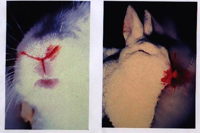 Thỏ chảy nước mũi có lẫn máu khi bị bệnh xuất huyết ở thỏ