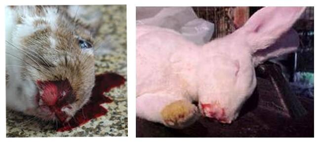 Thỏ chết khi bị bệnh xuất huyết ở thỏ