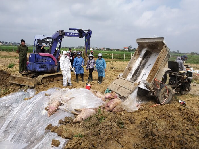 dịch tả lợn châu phi mới nhất tại Việt Nam