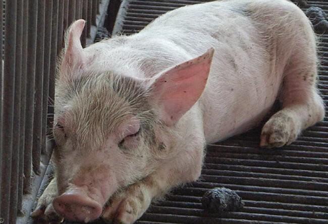 Lợn sốt cao, mệt mỏi, nằm một chỗ khi bị cúm lợn