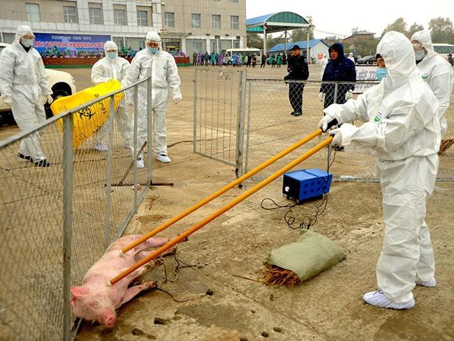 Tiêu hủy lợn mắc bệnh dịch tả lợn Châu Phi