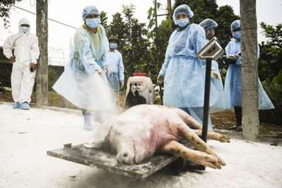 Trong năm 2019, gần 5 triệu con lợn đã chết vì dịch tả lợn Châu Phi ASF