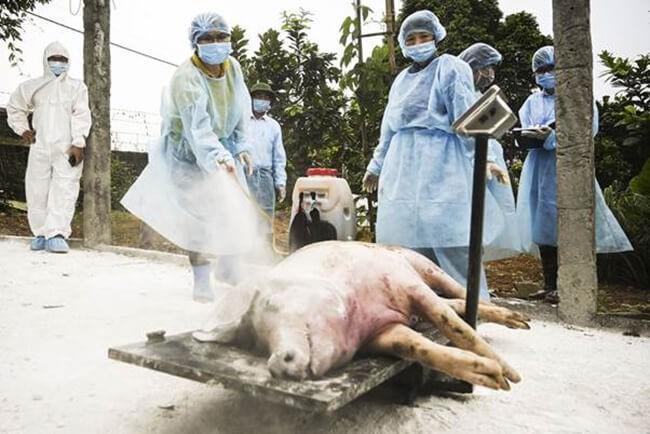 Tiêu hủy lợn chết vì mắc bệnh dịch tả lợn Châu Phi