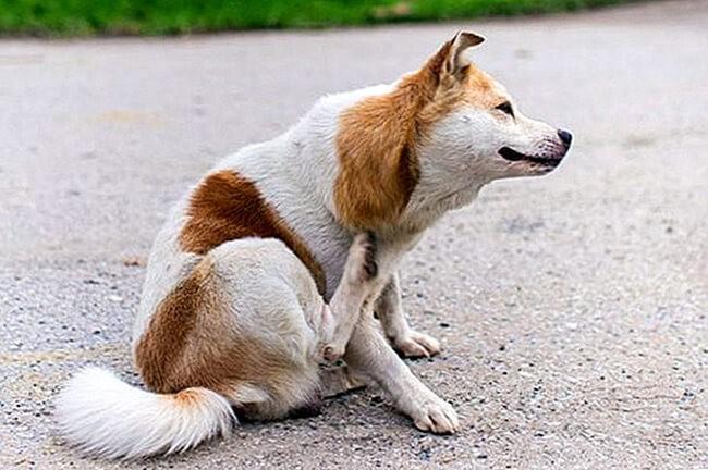 Chó mắc eczema bị ngứa nên gãi vùng tổn thương