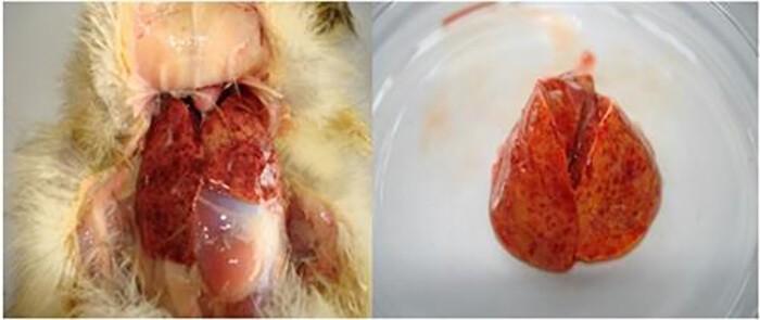 Bệnh phẩm là gan để chẩn đoán bệnh viêm gan ở vịt