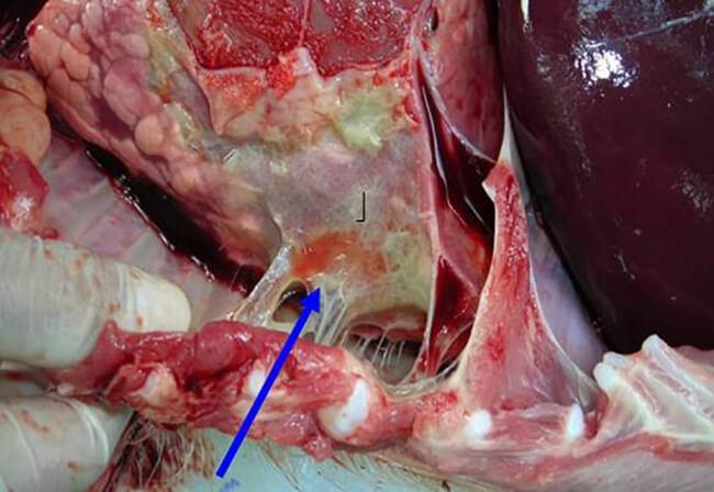 Viêm phổi dính sườn có mủ ở lợn