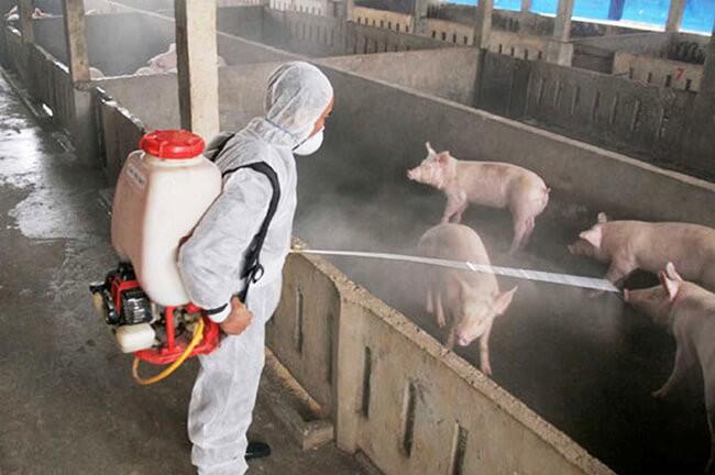 Phun sát trùng chuồng trại định kỳ phòng bệnh viêm màng phổi ở lợn