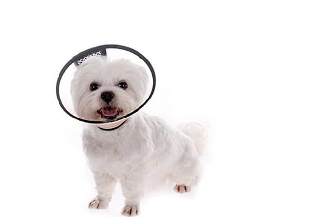 Đeo loa cổ cho chó sau khi cắt đuôi chó