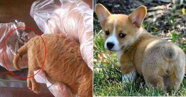 Kết quả sau chỉnh hình cắt đuôi chó