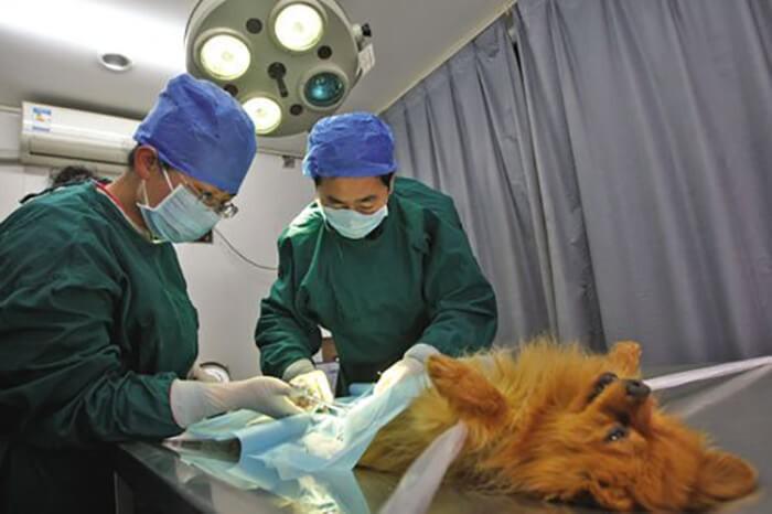 Gây mê cho chó trước khi phẫu thuật để giảm đau đớn