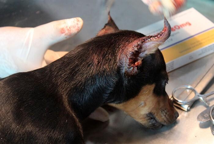 Phẫu thuật để tai chó vểnh lên