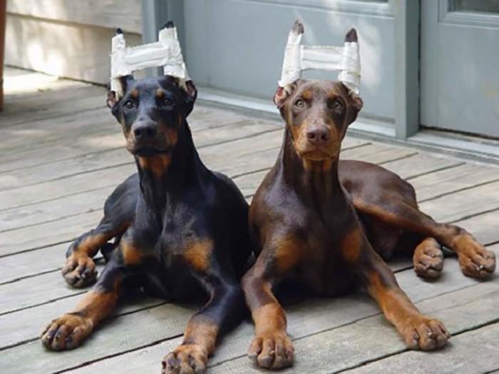 Nẹp giữ tai chó sau phẫu thuật chỉnh hình tai chó