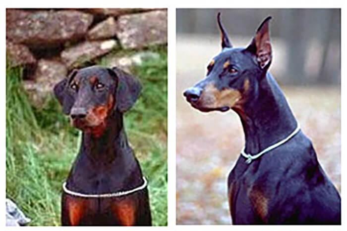 Trước và sau khi phẫu thuật cắt tai