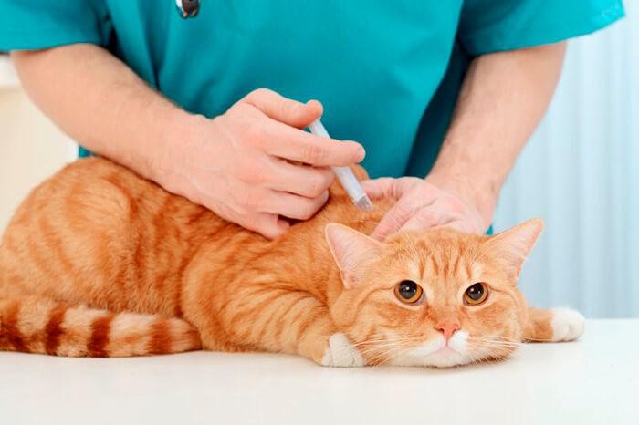 Gây tê thấm cho mèo (hình ảnh minh họa)