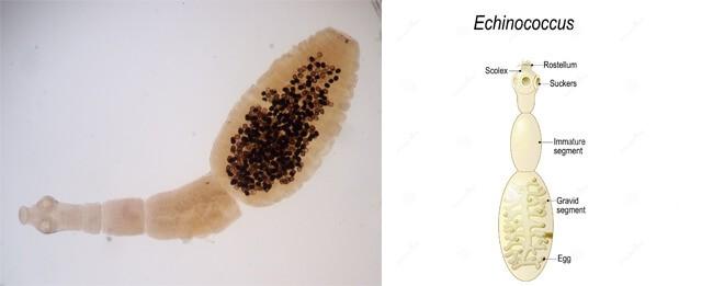 Sán dây Echinococcus granulosus