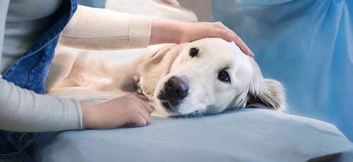 Chăm sóc chó chu đáo sau khi thiến