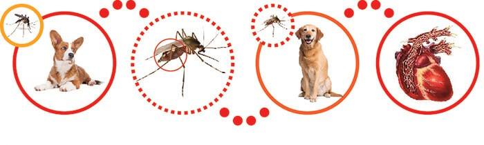 Muỗi truyền bệnh giun tim từ chó bệnh sang chó khỏe