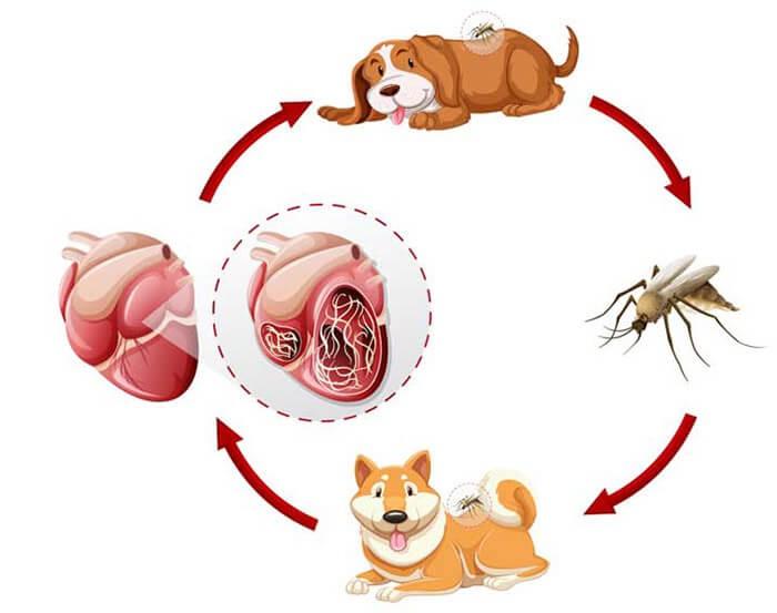 Cơ chế truyền bệnh giun tim ở chó