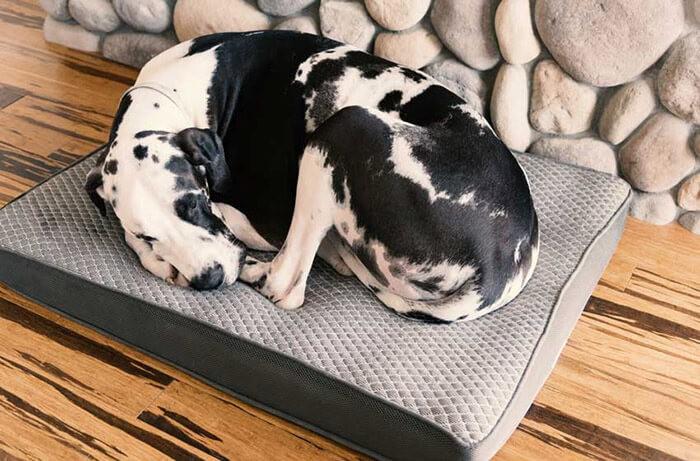 Chó bị suy sụp, lười vận động khi bị bệnh giun tim ở chó