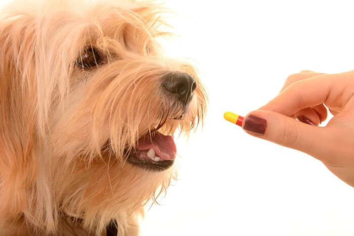 Cho chó uống thuốc trị ấu trùng giun timDirofilaria unmitis