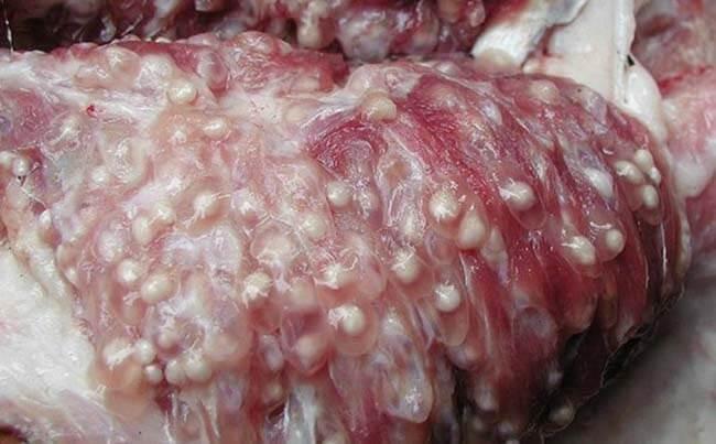 Thịt lợn mắc bệnh gạo lợn chứa đầy nang ấu trùng