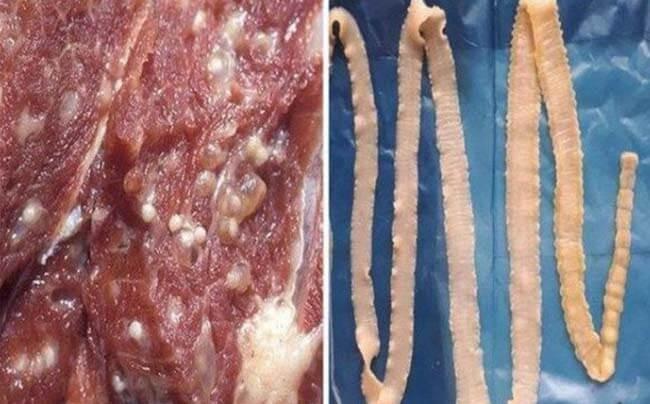 sán dây trưởng thành gây bệnh lợn gạo