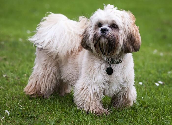 Hình ảnh chó Tây Tạng trong các chú chó không rụng lông