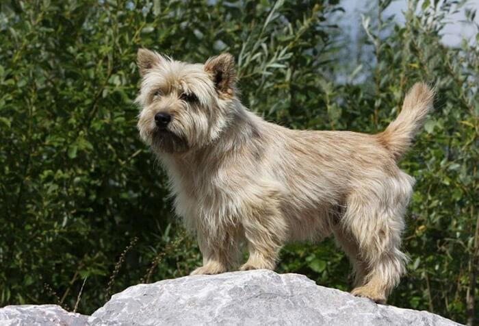 Cairn Terrier là một trong các giống chó không rụng lông
